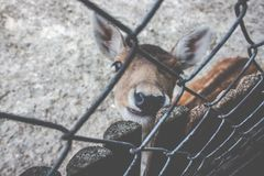 Interested deer behind a fence stock photography