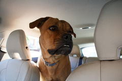 Interested  dog driving in back end of a car. Interested  red dog driving in back end of a car Stock Photo