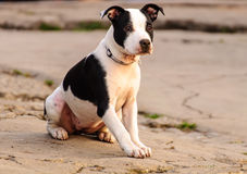 Interested Dog. Pit bull looking interesting in something royalty free stock image