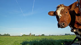 Interested Dutch cow looking into the lens. Interested red Dutch cow looking into the lens overlooking a fresh green paddock with windmill under a clear blue sky Stock Photography