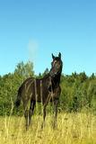 Interested gaze of the black horse. Black Horse smortrit interested gaze, stand at full height Royalty Free Stock Photos