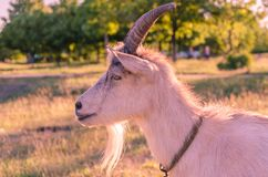 Goat walks in a meadow. Interested goat walks in a meadow in a children`s park Stock Images