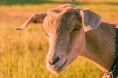 Goat walks in a meadow. Interested goat walks in a meadow in a children`s park Stock Photos