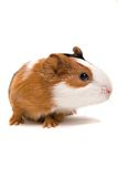 Interested guinea-pig Royalty Free Stock Photo
