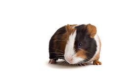 Interested guinea-pig Stock Image