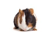 Interested guinea-pig frontal Stock Photos