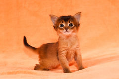 Interested kitten. Interested purebred one month somali kitten Royalty Free Stock Photography