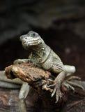 Interested lizard Stock Image