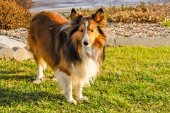 Interested Shelby Collie. Shelby Collie standing near flower bed royalty free stock photography