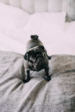 Interested surprised black pug standing on hotel bed Stock Photography