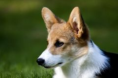 Interested. A welsh corgi head interested in something Stock Image