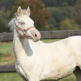Interesting albino horse with pink halter Stock Images