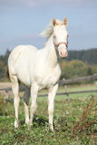 Interesting albino horse with pink halter Royalty Free Stock Photo