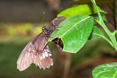 Amazonian butterfly Royalty Free Stock Images