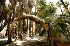 Interesting arch fan palm tree in the Indian Canyons in Palm Springs. California stock photos