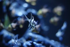 Interesting banggai cardinalfish close-up in New Aquarium de Las. Blurry blue background Stock Photo