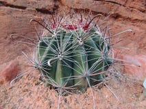 Close up macro view of Fishhook Barrel Ferocactus Wislizeni cactus plant, near St George Utah in South Western Desert USA. Interesting Close up macro view of royalty free stock image
