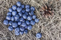 Blueberries on pine needles in tre forest stock image