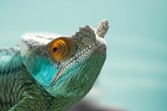 An interesting detail in nature. Portrait of a chameleon closeup. Blue colors in the baclground. royalty free stock photo