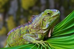An interesting detail in nature. Portrait of a green iguana close up. Brown and green color in the background. stock images