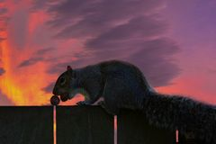 Interesting detail. Portrait of a squirrel up close. There`s a squirrel on a wooden fence. Very nice sunset in the background. stock image