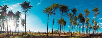 Interesting evergreen trees in the summer sky panorama royalty free stock images
