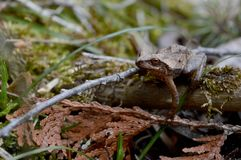 Wood Frog Species Lithobates Sylvaticus. AN interesting eye level view of a native Ontario wood frog species known as Lithobates sylvaticus stock photos