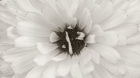 Interesting flower with a core. Black and white photo, macro Royalty Free Stock Images