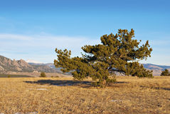 Interesting Foreground Pine Tree. Pine tree with an idiosyncratic shape on a hill with view of distant mountains Stock Photography