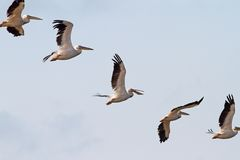 Interesting Formation Of Great Pelicans Royalty Free Stock Photo