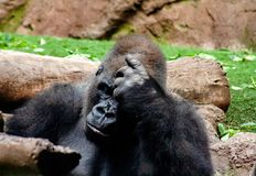 Interesting Gorilla sits here and think intensively stock photos