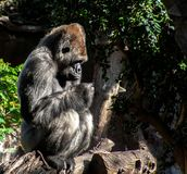 Interesting Gorilla sits an a old branch stock photography