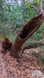 Interesting hypodermic needle shaped hollow old fallen tree in forest stock photography