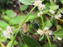 Interesting insect with black and blue body and red head over white flowers. Interesting insect with black and blue body and red head. Cotton stainer bug or stock images