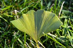 An interesting leaf on the green grass. Green grass nature background, interesting leaf texture royalty free stock photo