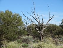 Interesting leafless trees in amongst shrubs and grass, Uluru, Northern Territory stock image