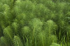 Horsetail Leaves Background. Interesting lines and textures from horsetail growing in the wild on the Olympic Peninsual, Pacific Northwest near Amanda Lake Royalty Free Stock Photo