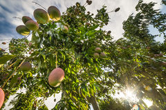 Interesting Mango tree photo from below Stock Images
