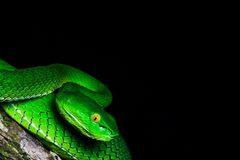 Interesting moment in nature. The green snake on the branch up close. Black shades in the background. stock photo