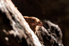 Interesting nocturnal Oilbird or Guacharo Steatornis caripensis in dark cave, bird nesting on rock in its natural environment. Trinidad island, adventure in stock photography