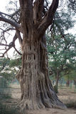 An Interesting Old Tree. An old dead tree stands among the new samplings being planted around the Govardhan hill in a reforestation program it shape and form royalty free stock photography