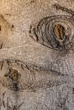 Interesting pattern on the bark of the blue spruce. By turning on the imagination you can find comparisons with various images stock image