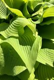 Leaf patterns on a plant. Interesting patterns on a bright green plant Royalty Free Stock Photos