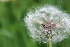 White dandelion against background of green grass Stock Image