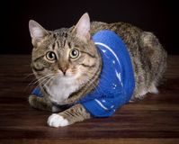 Cat in a blue jacket royalty free stock photo