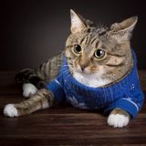 Tabby Cat in a blue jacket stock photos
