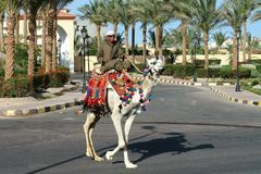 A man in glasses, on a camel, moving along the road. stock image