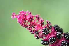 An interesting pink plant. A beautiful macro of a pink plant in the botanic gardens, Ireland royalty free stock image