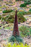 Interesting plant in the national park of teide stock photos