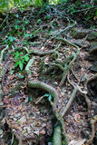 Interesting plexus of the roots of tropical trees in the jungle. Royalty Free Stock Photos